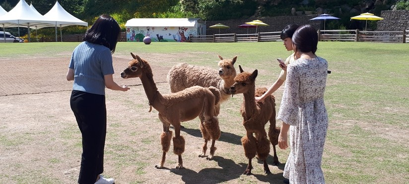 Alpaca world+Nami Island+Petite France / USD 85 – Pyeongtaek