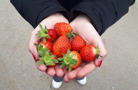 Strawberry picking+Nami Island+The Garden of Morning Calm Tour (Starlight Festival)  / USD 70